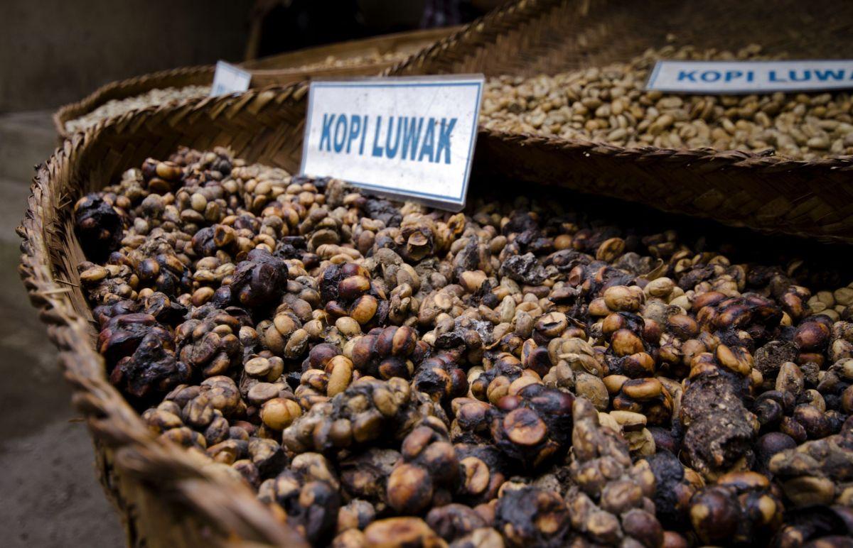 Kopi Luwak, el café mas caro del mundo. ¿Vale la pena?