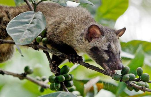 civet-eating-coffee-berries-via-telegraph-co_-uk_